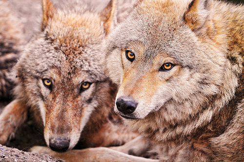 Wolves - self-willed, insightful social beings, just like humans.